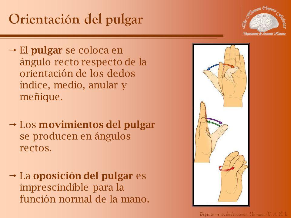 Departamento de Anatomía Humana, U. A. N. L. Orientación del pulgar El pulgar se coloca en ángulo recto respecto de la orientación de los dedos índice