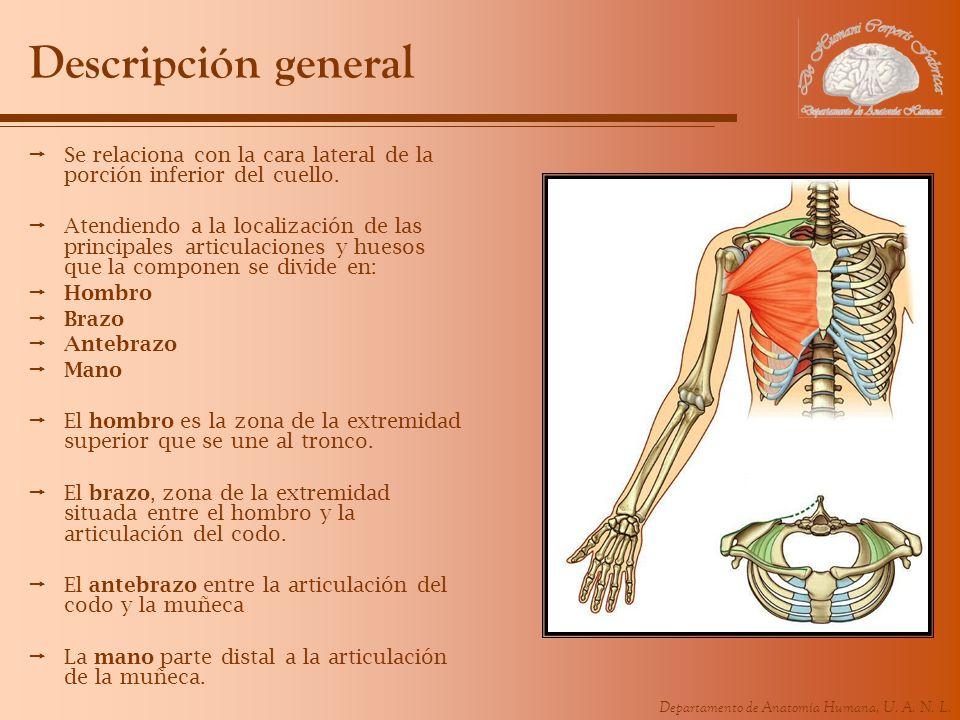 Departamento de Anatomía Humana, U. A. N. L. Descripción general Se relaciona con la cara lateral de la porción inferior del cuello. Atendiendo a la l