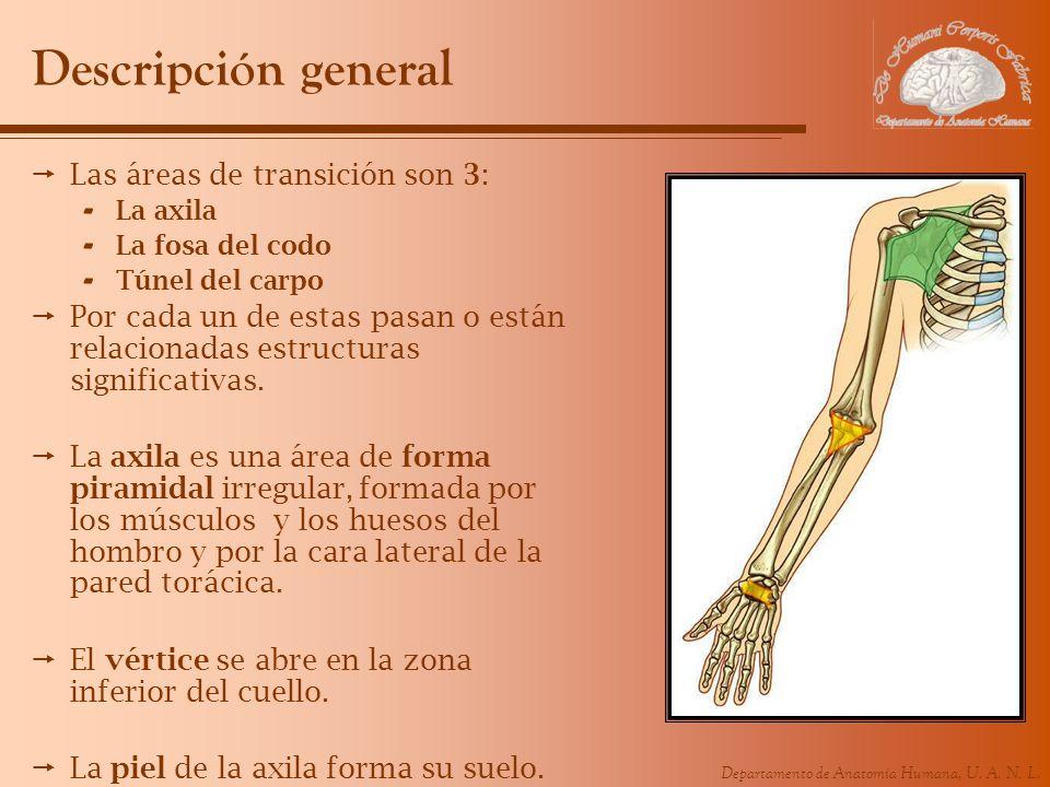 Departamento de Anatomía Humana, U. A. N. L. Descripción general Las áreas de transición son 3: - La axila - La fosa del codo - Túnel del carpo Por ca