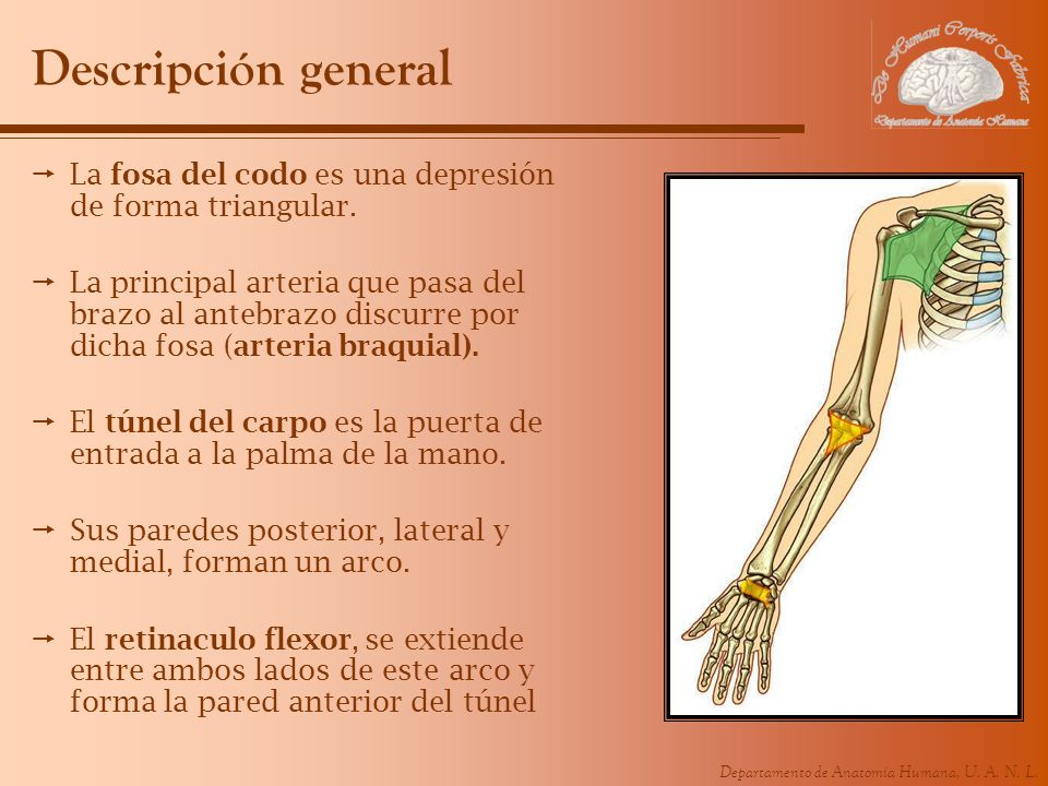 Departamento de Anatomía Humana, U. A. N. L. Descripción general La fosa del codo es una depresión de forma triangular. La principal arteria que pasa