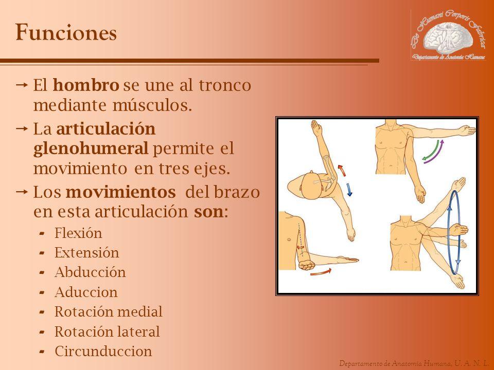 Departamento de Anatomía Humana, U. A. N. L. Funciones El hombro se une al tronco mediante músculos. La articulación glenohumeral permite el movimient