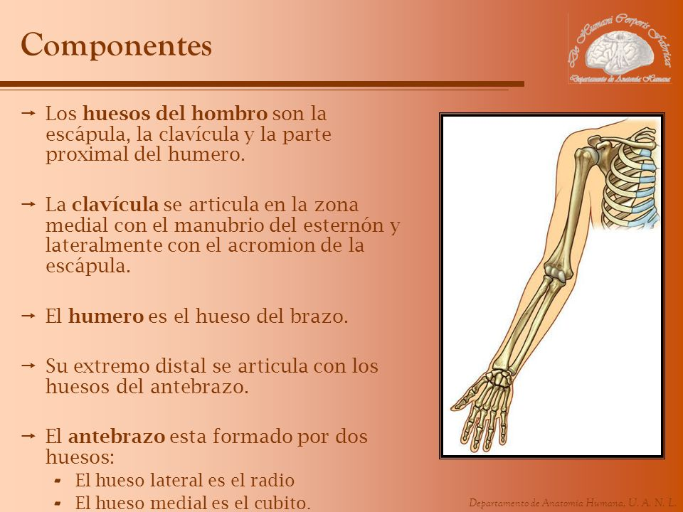 Departamento de Anatomía Humana, U. A. N. L. Componentes Los huesos del hombro son la escápula, la clavícula y la parte proximal del humero. La clavíc