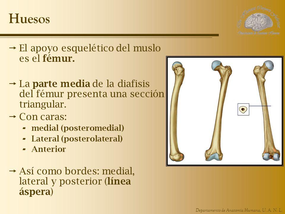 Departamento de Anatomía Humana, U.A. N. L. Huesos El apoyo esquelético del muslo es el fémur.
