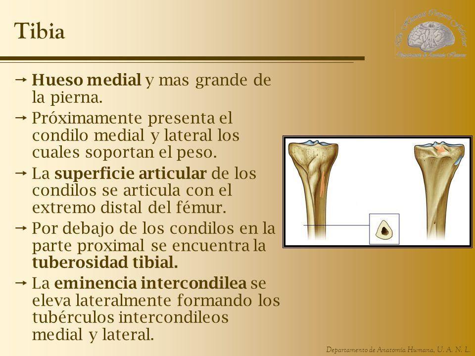 Departamento de Anatomía Humana, U.A. N. L. Tibia Hueso medial y mas grande de la pierna.
