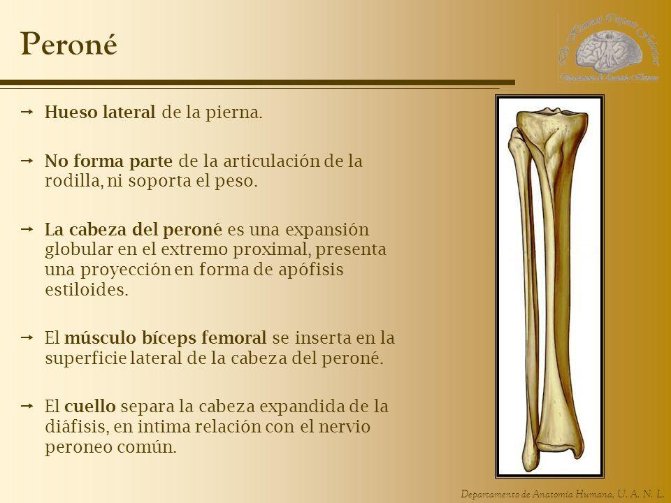 Departamento de Anatomía Humana, U.A. N. L. Peroné Hueso lateral de la pierna.