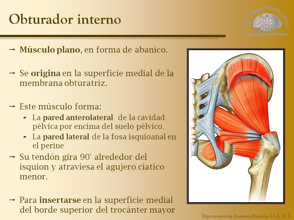 Departamento de Anatomía Humana, U.A. N. L. Obturador interno Músculo plano, en forma de abanico.