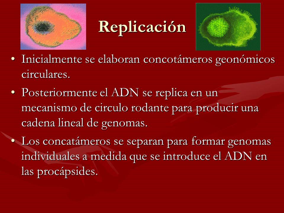 Replicación Inicialmente se elaboran concotámeros geonómicos circulares.Inicialmente se elaboran concotámeros geonómicos circulares. Posteriormente el