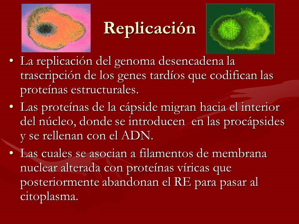 Replicación La replicación del genoma desencadena la trascripción de los genes tardíos que codifican las proteínas estructurales.La replicación del ge