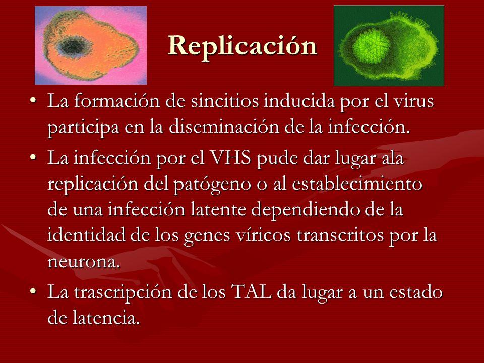 Replicación La formación de sincitios inducida por el virus participa en la diseminación de la infección.La formación de sincitios inducida por el vir