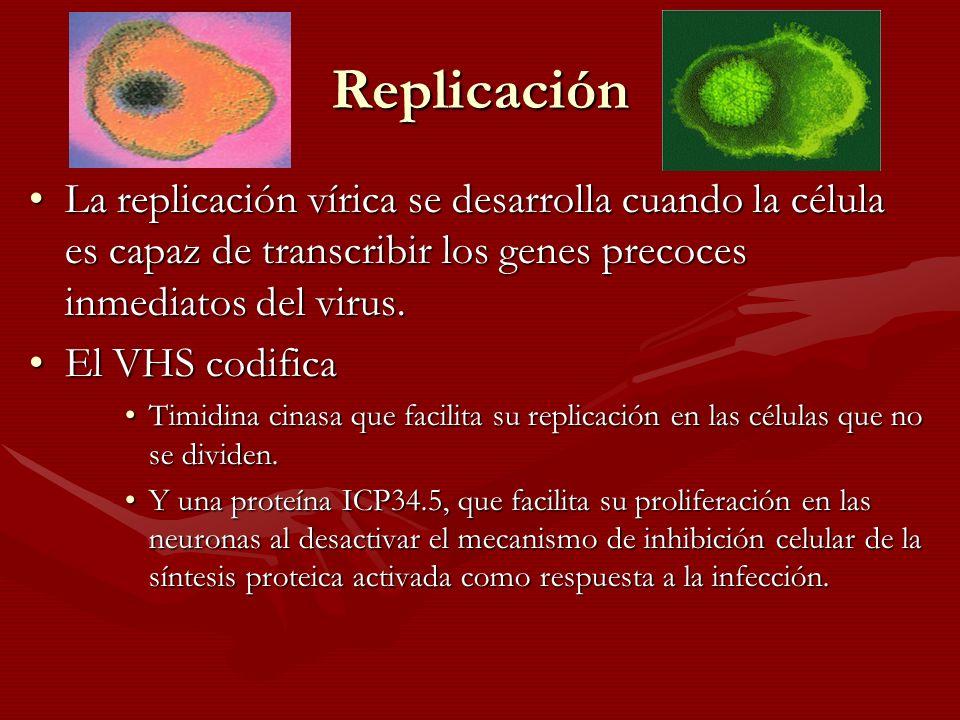 Replicación La replicación vírica se desarrolla cuando la célula es capaz de transcribir los genes precoces inmediatos del virus.La replicación vírica