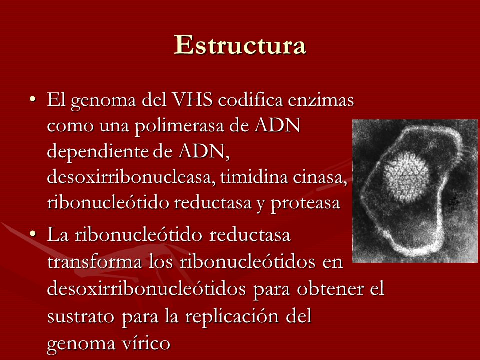 Epidemiología A pesar de que el VHS puede infectar células animales, la infección por VHS es una enfermedad exclusivamente humanaA pesar de que el VHS puede infectar células animales, la infección por VHS es una enfermedad exclusivamente humana El VSH se transmite a través del liquido de las vesículas, la saliva y las secreciones vaginales (mezcla y coincidencia de las membranas mucosas)El VSH se transmite a través del liquido de las vesículas, la saliva y las secreciones vaginales (mezcla y coincidencia de las membranas mucosas) El lugar de la infección y de la enfermedad se ve determinado por el tipo de combinación de mucosasEl lugar de la infección y de la enfermedad se ve determinado por el tipo de combinación de mucosas