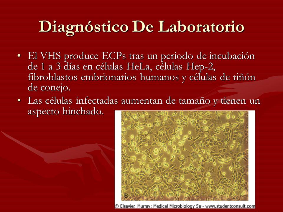 Diagnóstico De Laboratorio El VHS produce ECPs tras un periodo de incubación de 1 a 3 días en células HeLa, células Hep-2, fibroblastos embrionarios h