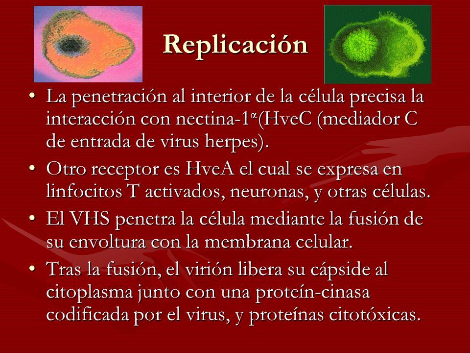 Patogenia e Inmunidad La infección por el virus VHS se inicia a través de las membranas mucosas o de roturas de la pielLa infección por el virus VHS se inicia a través de las membranas mucosas o de roturas de la piel El virus se multiplica en las células de la base de la lesiónEl virus se multiplica en las células de la base de la lesión Infecta a la neurona que las inervaInfecta a la neurona que las inerva Se desplaza por transporte retrógrado hasta el ganglioSe desplaza por transporte retrógrado hasta el ganglio –Ganglios trigéminos en el caso del VHS-1 bucal –Ganglio sacro en el caso del VHS-2 genital