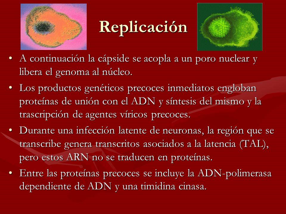 Replicación A continuación la cápside se acopla a un poro nuclear y libera el genoma al núcleo.A continuación la cápside se acopla a un poro nuclear y