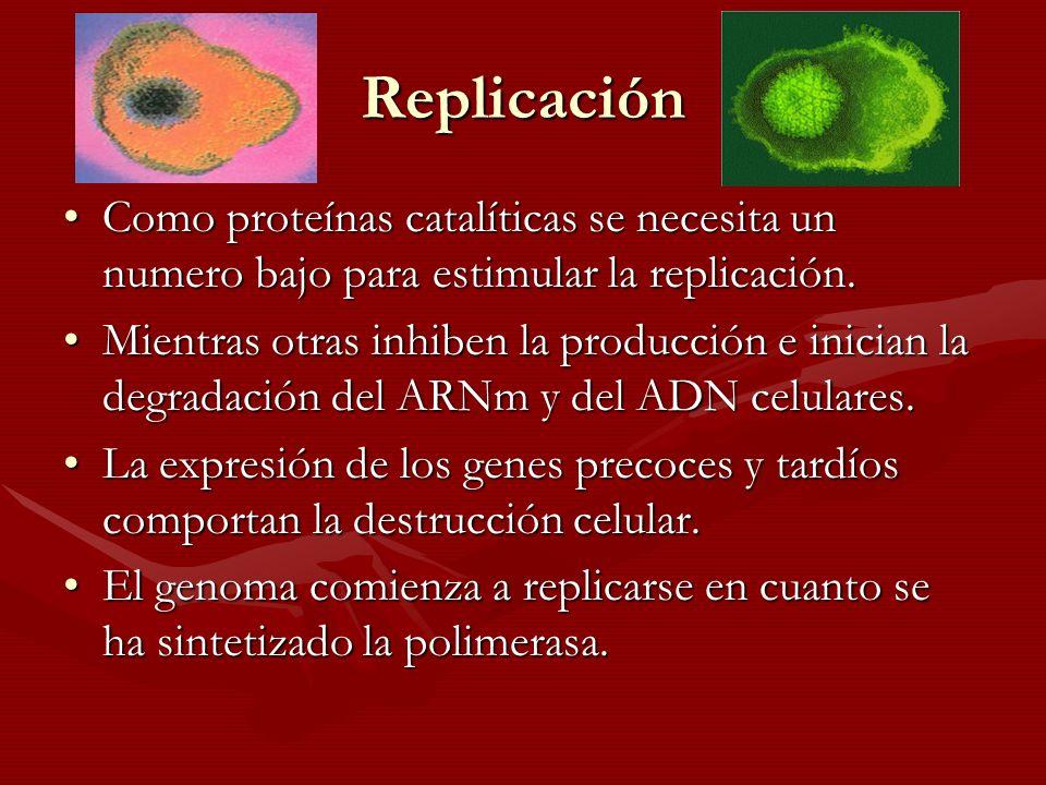 Replicación Como proteínas catalíticas se necesita un numero bajo para estimular la replicación.Como proteínas catalíticas se necesita un numero bajo