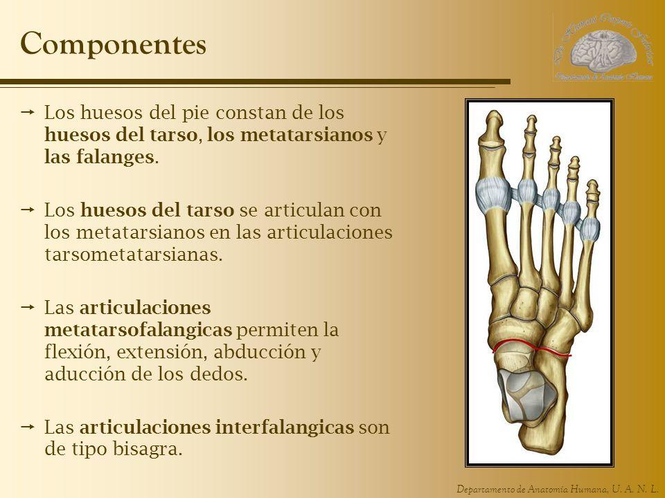 Departamento de Anatomía Humana, U. A. N. L. Componentes Los huesos del pie constan de los huesos del tarso, los metatarsianos y las falanges. Los hue