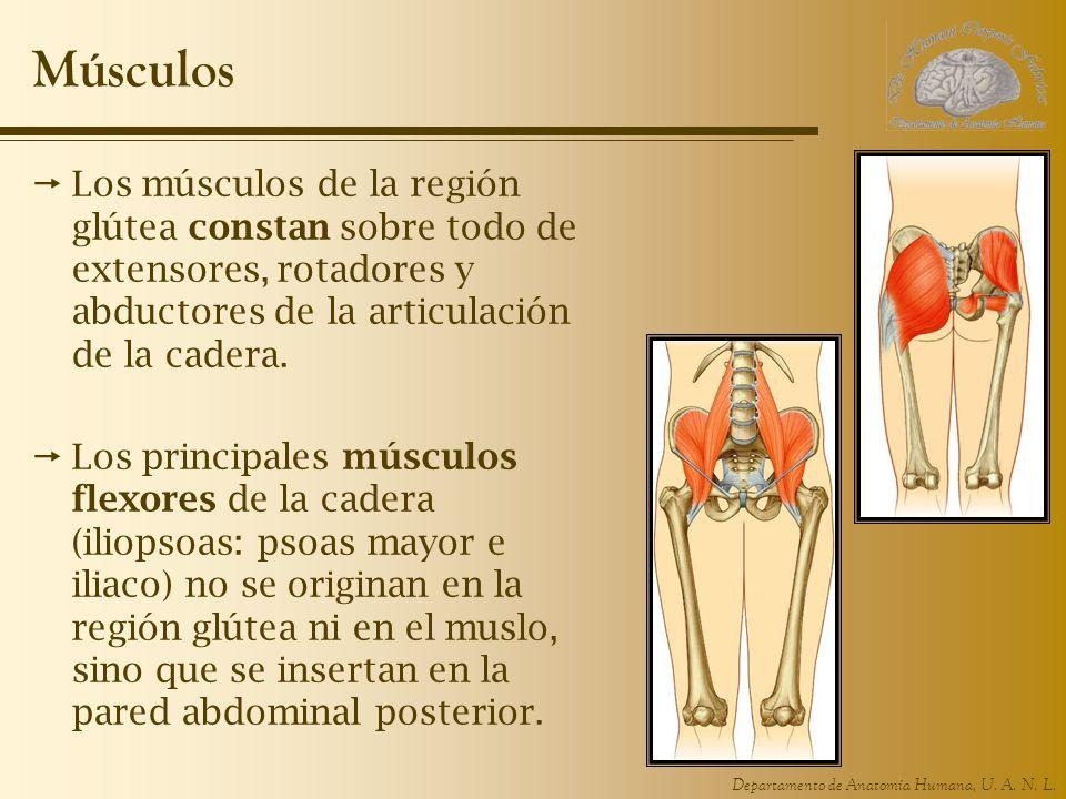 Departamento de Anatomía Humana, U. A. N. L. Músculos Los músculos de la región glútea constan sobre todo de extensores, rotadores y abductores de la