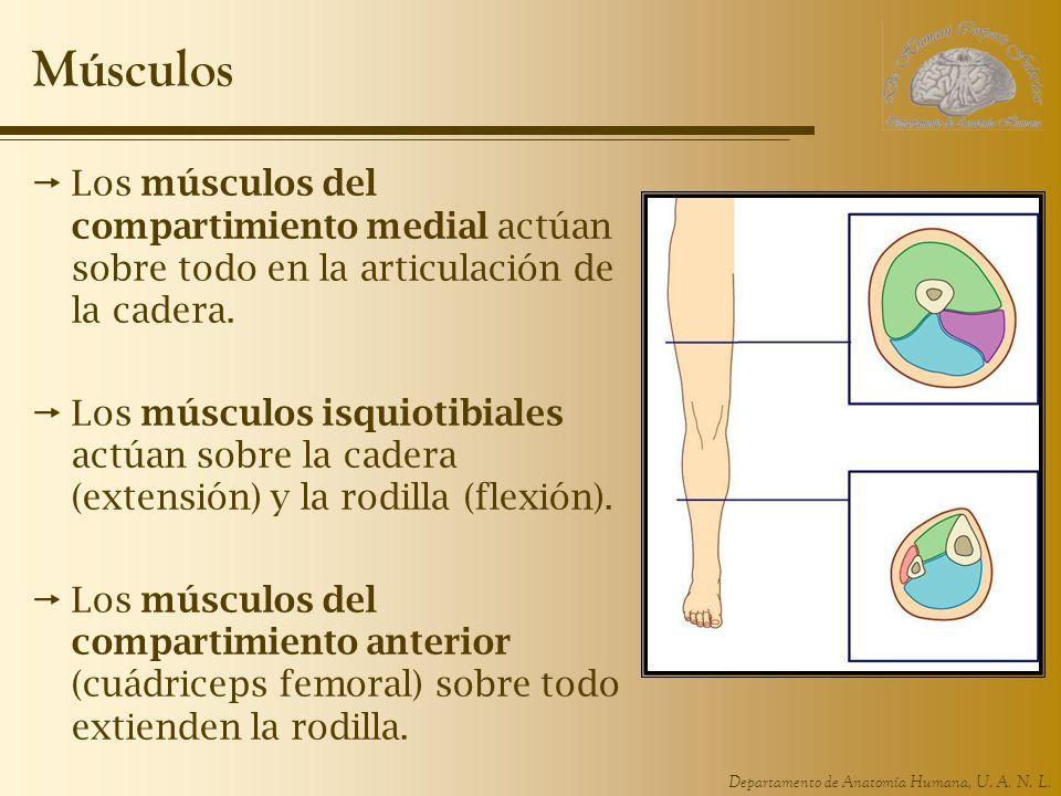 Departamento de Anatomía Humana, U. A. N. L. Músculos Los músculos del compartimiento medial actúan sobre todo en la articulación de la cadera. Los mú