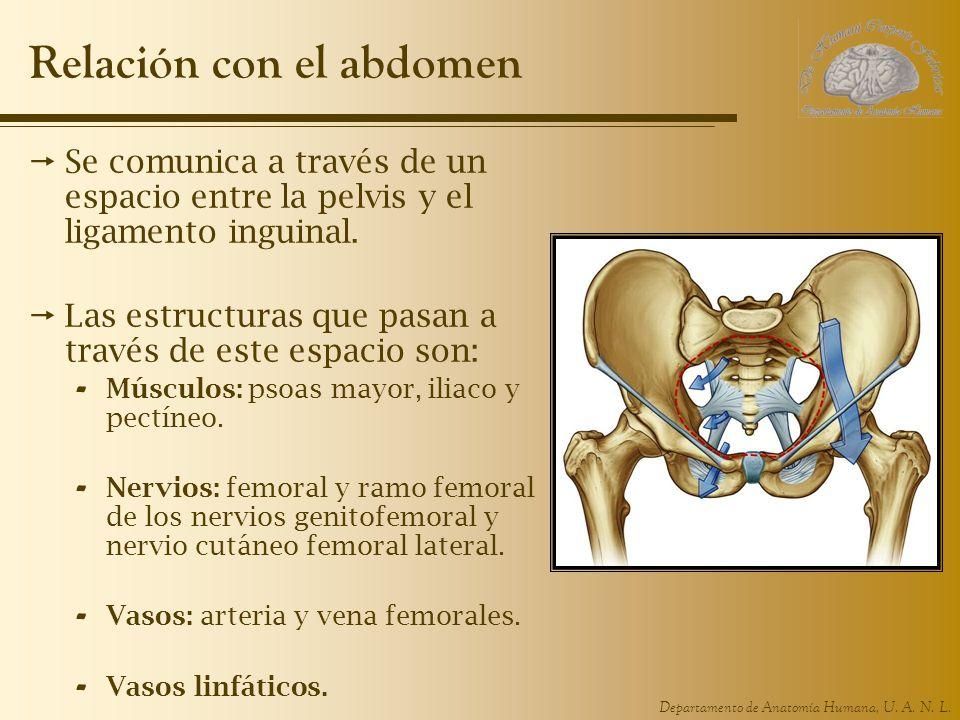 Departamento de Anatomía Humana, U. A. N. L. Relación con el abdomen Se comunica a través de un espacio entre la pelvis y el ligamento inguinal. Las e