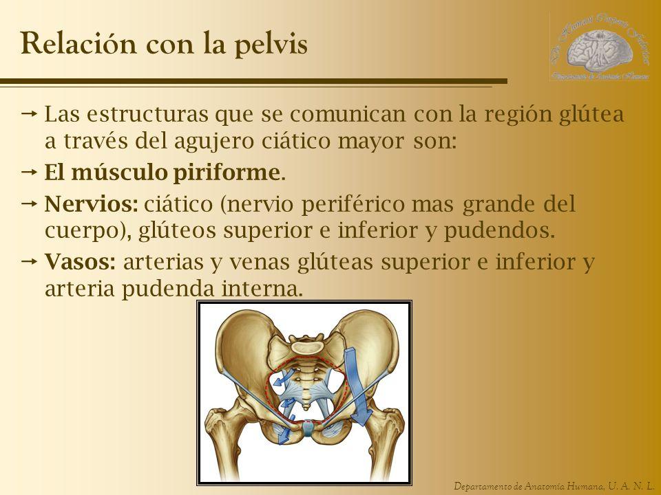 Departamento de Anatomía Humana, U. A. N. L. Relación con la pelvis Las estructuras que se comunican con la región glútea a través del agujero ciático