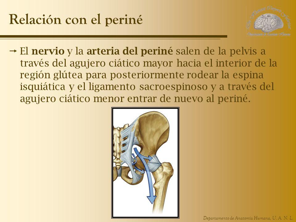 Departamento de Anatomía Humana, U. A. N. L. Relación con el periné El nervio y la arteria del periné salen de la pelvis a través del agujero ciático