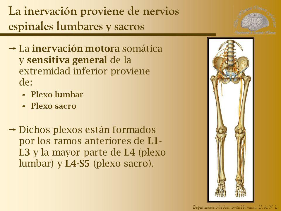 Departamento de Anatomía Humana, U. A. N. L. La inervación proviene de nervios espinales lumbares y sacros La inervación motora somática y sensitiva g