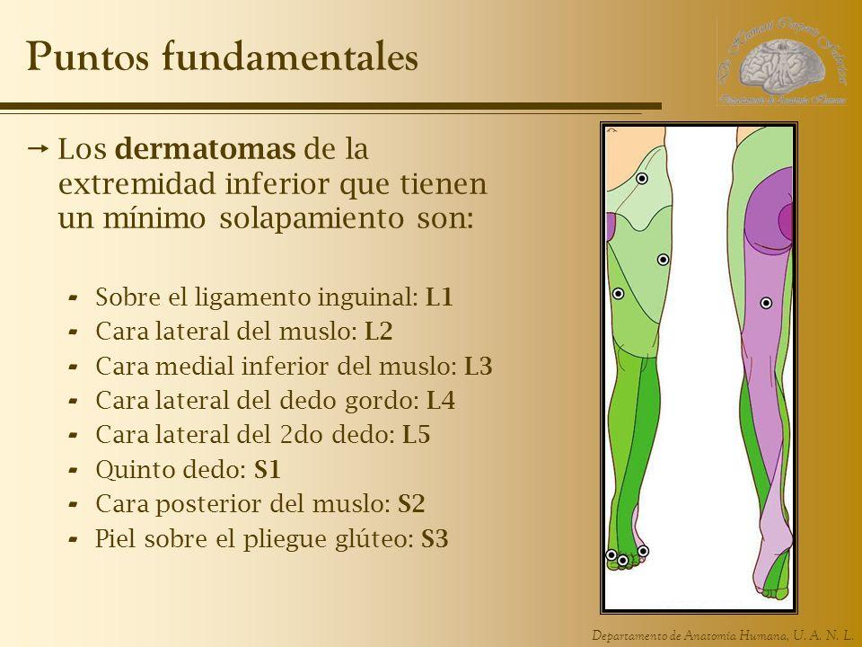 Departamento de Anatomía Humana, U. A. N. L. Puntos fundamentales Los dermatomas de la extremidad inferior que tienen un mínimo solapamiento son: - So
