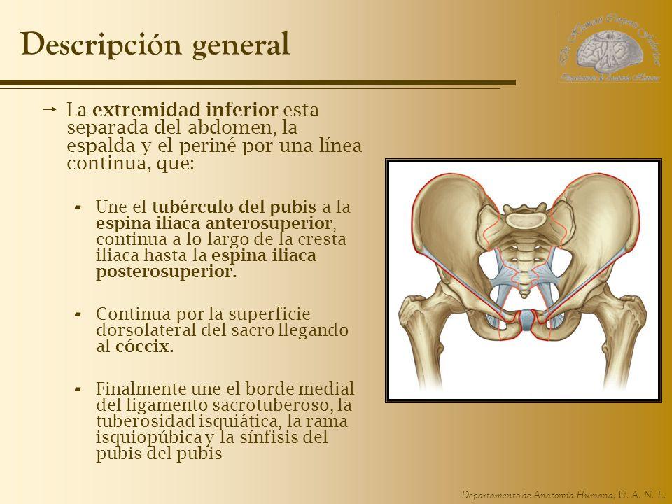 Departamento de Anatomía Humana, U. A. N. L. Descripción general La extremidad inferior esta separada del abdomen, la espalda y el periné por una líne