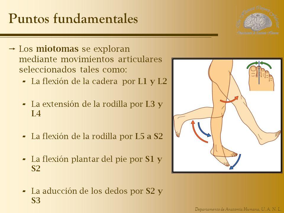 Departamento de Anatomía Humana, U. A. N. L. Puntos fundamentales Los miotomas se exploran mediante movimientos articulares seleccionados tales como: