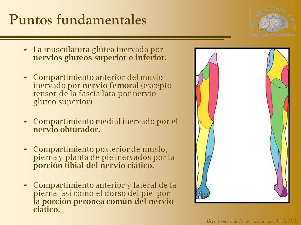 Departamento de Anatomía Humana, U. A. N. L. Puntos fundamentales - La musculatura glútea inervada por nervios glúteos superior e inferior. - Comparti