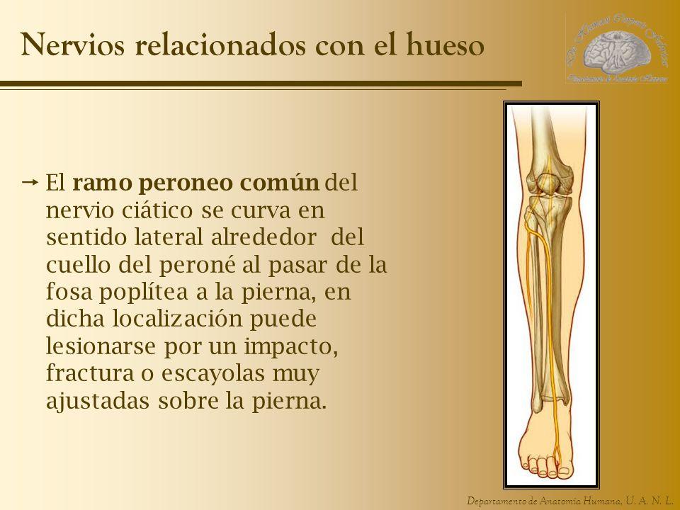 Departamento de Anatomía Humana, U. A. N. L. Nervios relacionados con el hueso El ramo peroneo común del nervio ciático se curva en sentido lateral al