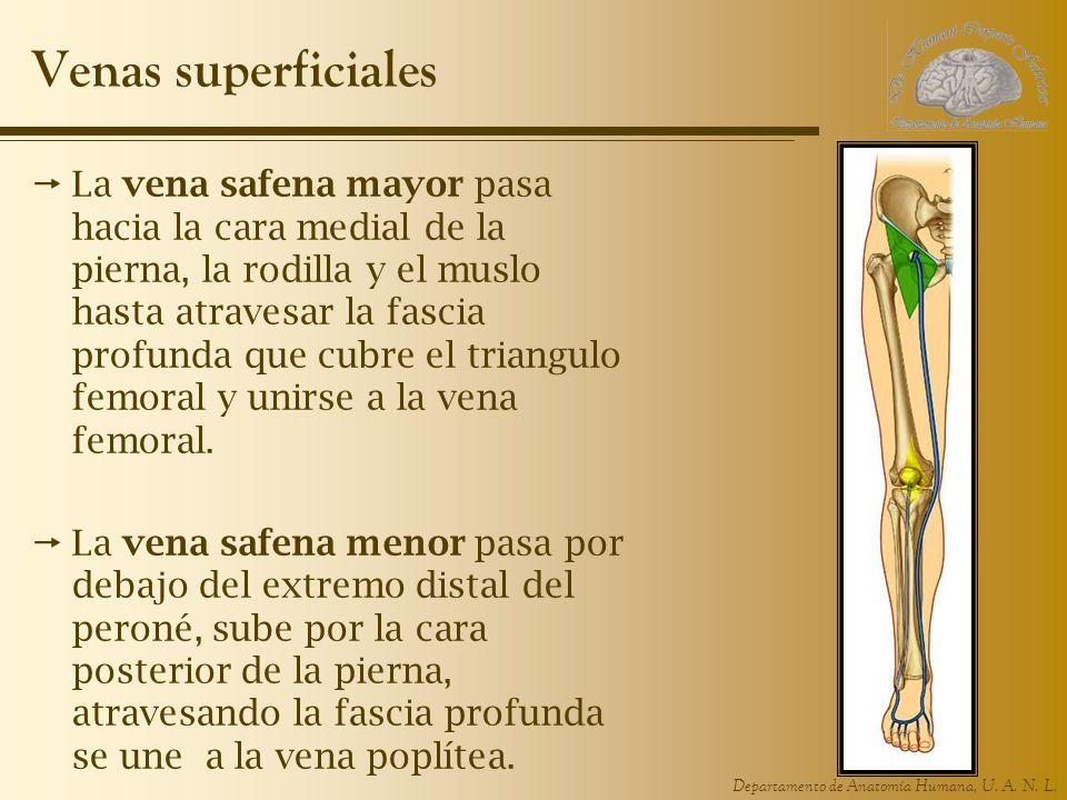 Departamento de Anatomía Humana, U. A. N. L. Venas superficiales La vena safena mayor pasa hacia la cara medial de la pierna, la rodilla y el muslo ha