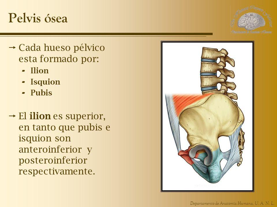 Departamento de Anatomía Humana, U. A. N. L. Pelvis ósea Cada hueso pélvico esta formado por: - Ilion - Isquion - Pubis El ilion es superior, en tanto