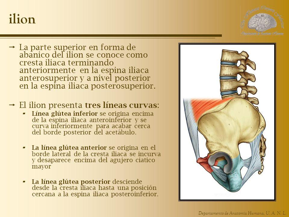 Departamento de Anatomía Humana, U. A. N. L. ilion La parte superior en forma de abanico del ilion se conoce como cresta iliaca terminando anteriormen