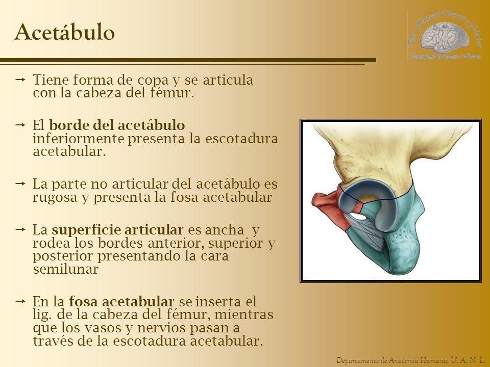 Departamento de Anatomía Humana, U. A. N. L. Acetábulo Tiene forma de copa y se articula con la cabeza del fémur. El borde del acetábulo inferiormente