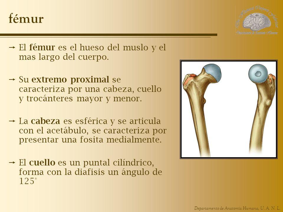 Departamento de Anatomía Humana, U. A. N. L. fémur El fémur es el hueso del muslo y el mas largo del cuerpo. Su extremo proximal se caracteriza por un