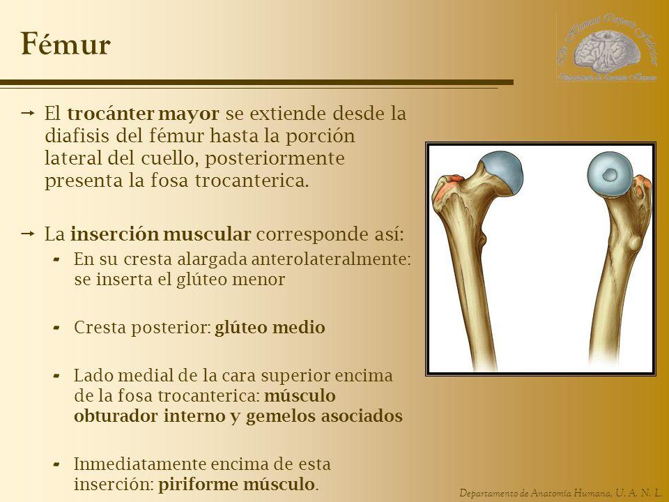Departamento de Anatomía Humana, U. A. N. L. Fémur El trocánter mayor se extiende desde la diafisis del fémur hasta la porción lateral del cuello, pos