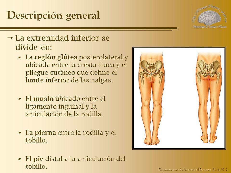 Departamento de Anatomía Humana, U. A. N. L. Descripción general La extremidad inferior se divide en: - La región glútea posterolateral y ubicada entr