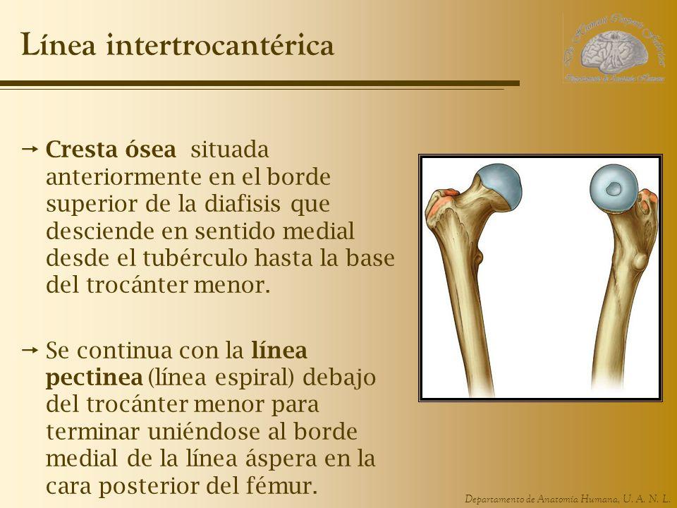 Departamento de Anatomía Humana, U. A. N. L. Línea intertrocantérica Cresta ósea situada anteriormente en el borde superior de la diafisis que descien