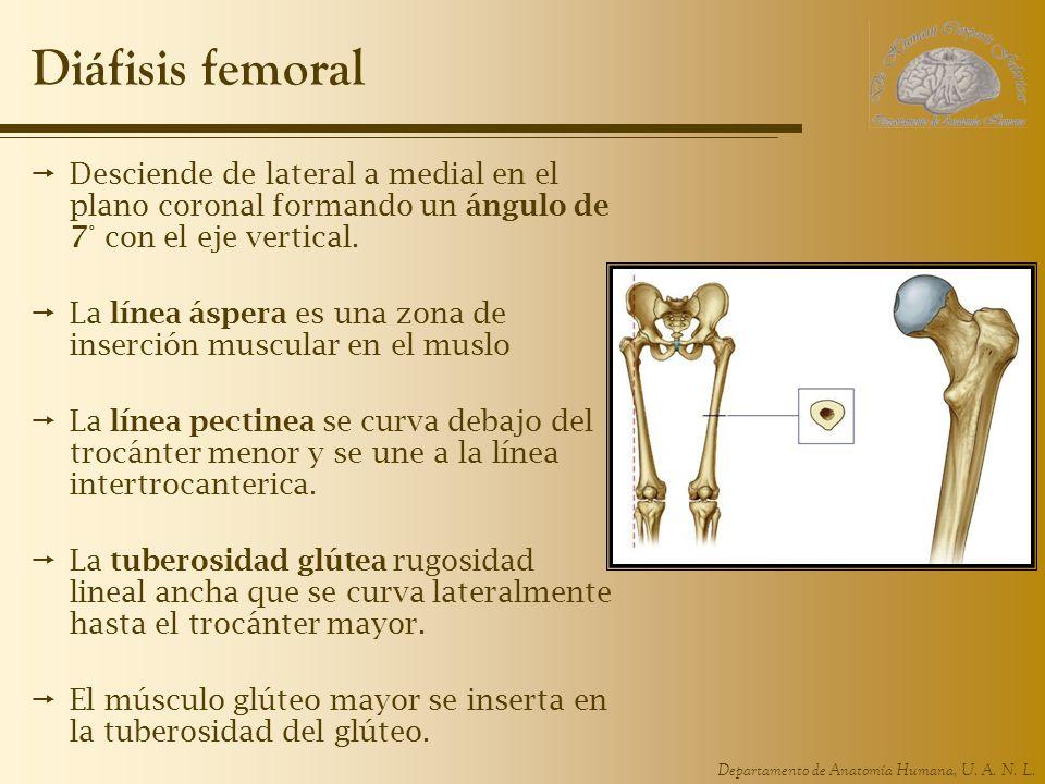Departamento de Anatomía Humana, U. A. N. L. Diáfisis femoral Desciende de lateral a medial en el plano coronal formando un ángulo de 7° con el eje ve