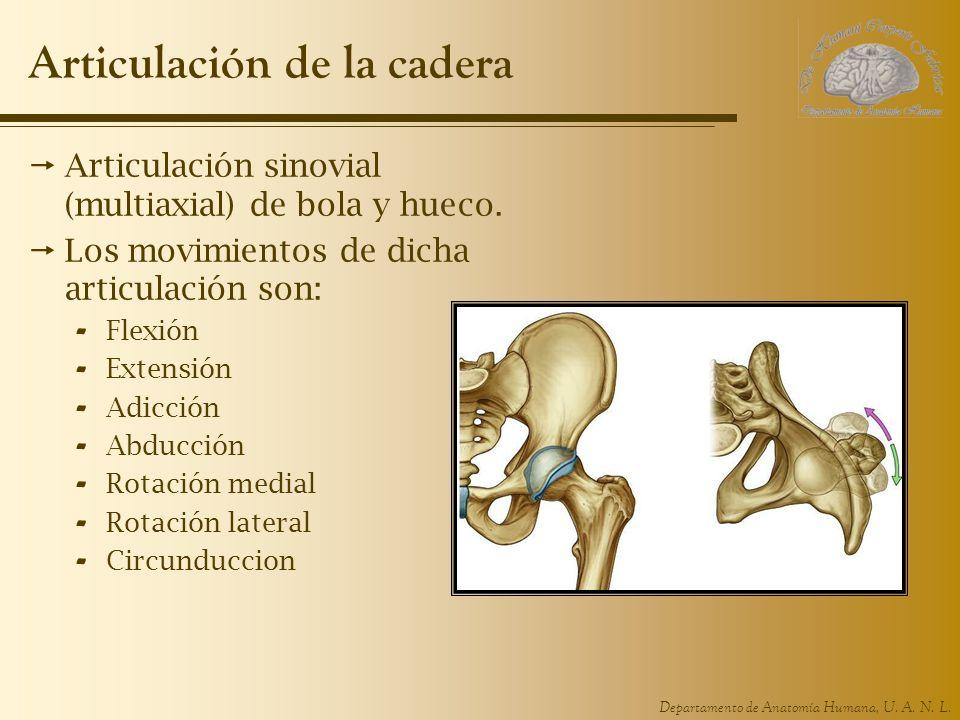 Departamento de Anatomía Humana, U. A. N. L. Articulación de la cadera Articulación sinovial (multiaxial) de bola y hueco. Los movimientos de dicha ar