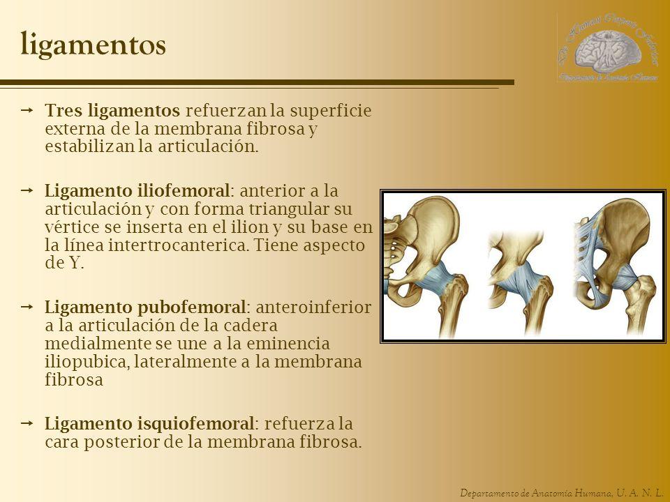 Departamento de Anatomía Humana, U. A. N. L. ligamentos Tres ligamentos refuerzan la superficie externa de la membrana fibrosa y estabilizan la articu