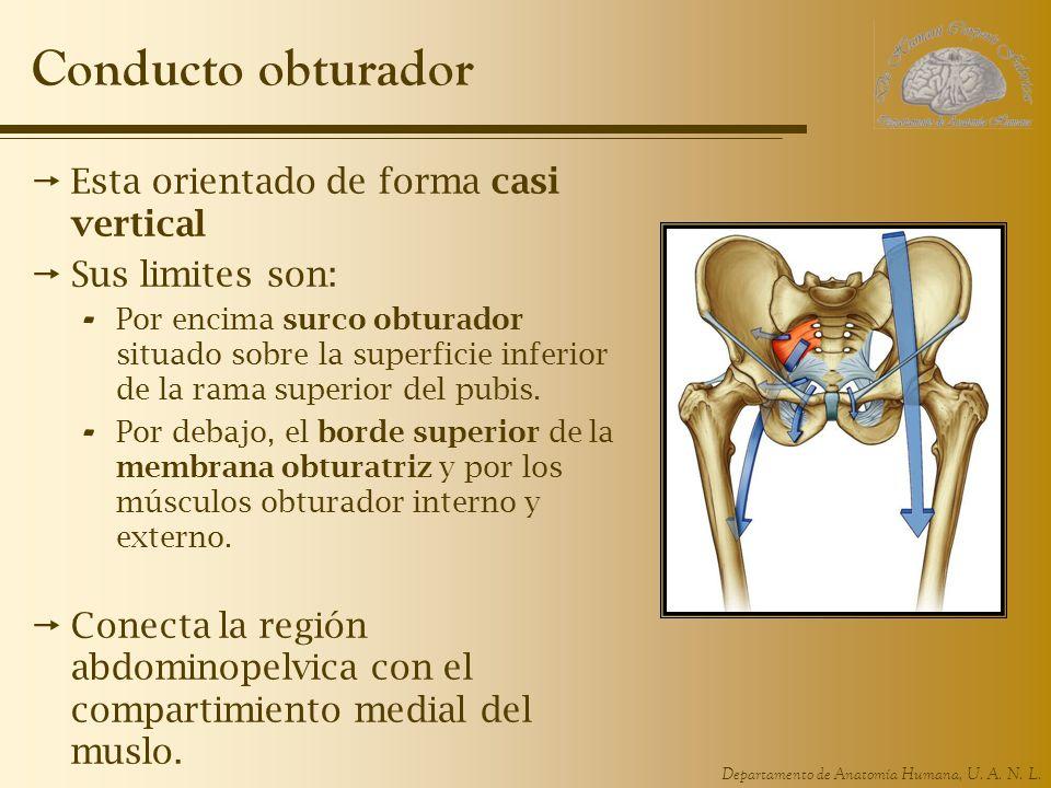 Departamento de Anatomía Humana, U. A. N. L. Conducto obturador Esta orientado de forma casi vertical Sus limites son: - Por encima surco obturador si