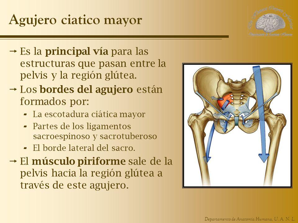 Departamento de Anatomía Humana, U. A. N. L. Agujero ciatico mayor Es la principal vía para las estructuras que pasan entre la pelvis y la región glút