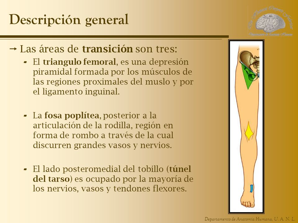 Departamento de Anatomía Humana, U. A. N. L. Descripción general Las áreas de transición son tres: - El triangulo femoral, es una depresión piramidal
