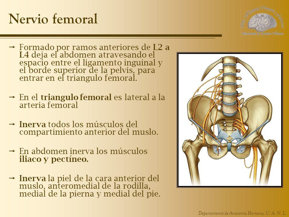 Departamento de Anatomía Humana, U. A. N. L. Nervio femoral Formado por ramos anteriores de L2 a L4 deja el abdomen atravesando el espacio entre el li