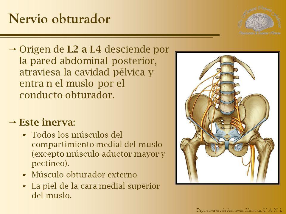 Departamento de Anatomía Humana, U. A. N. L. Nervio obturador Origen de L2 a L4 desciende por la pared abdominal posterior, atraviesa la cavidad pélvi