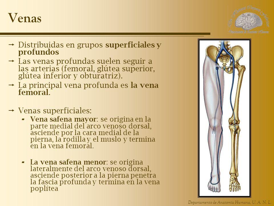 Departamento de Anatomía Humana, U. A. N. L. Venas Distribuidas en grupos superficiales y profundos Las venas profundas suelen seguir a las arterias (