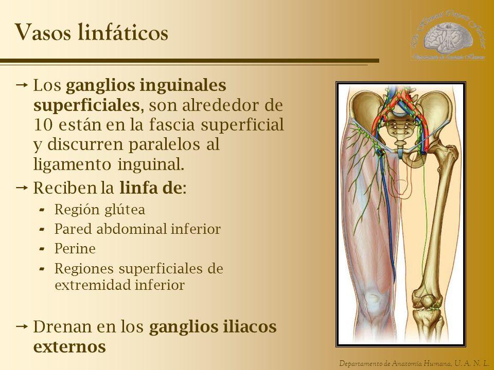 Departamento de Anatomía Humana, U. A. N. L. Vasos linfáticos Los ganglios inguinales superficiales, son alrededor de 10 están en la fascia superficia
