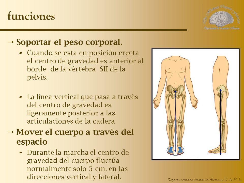Departamento de Anatomía Humana, U. A. N. L. funciones Soportar el peso corporal. - Cuando se esta en posición erecta el centro de gravedad es anterio